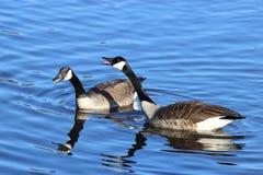 Honking Canada Geese stock photos