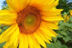 Honney bi på solrosen blom- naturlig bakgrund för sommar Royaltyfri Fotografi