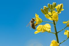 Honneybee collecting nectar on a flower royalty free stock image