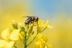 Honneybee Collecting Nectar On A Rape Flower Royalty Free Stock Photos