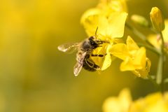 Honneybee collecting nectar on a flower. Honey Bee collecting pollen on yellow flowers against yellow background royalty free stock images