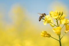 Honneybee die nectar op een verkrachtingsbloem verzamelen stock foto's