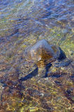 Hono, green sea turtle Royalty Free Stock Images