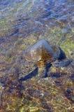 Hono, zielony denny żółw Obrazy Royalty Free