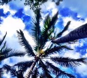 Honolulu, Hawaii. This is how you view the beautiful palm trees in Hawaii from below the lush canopy royalty free stock images