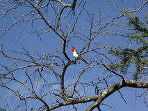 Red Crested Cardinal Chirping Royalty Free Stock Photo