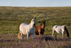 Honorer espagnol de chevaux Image stock