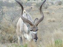 Honorer occupé de Kudu Photo libre de droits
