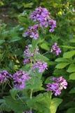 Honradez, annua del lunaria, planta en flor Fotografía de archivo