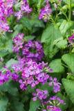 Honradez anual floreciente violeta Fotos de archivo libres de regalías