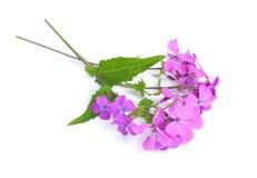 Honradez común del nombre del Lunaria Aislado Imagen de archivo