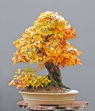 Honrnbeam bonsai with snow cap royalty free stock image