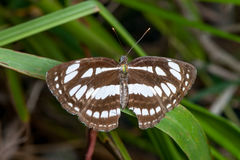 The Honshu White Admiral. Limenitis glorifica on a leaf Stock Images