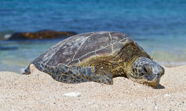 Honu on the beach Stock Images
