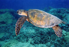 Honu - Green Sea Turtle- cruises the shallows off the Kona Coast, Hawaii Royalty Free Stock Photo