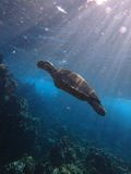 Honu Hawaii Royalty Free Stock Photography