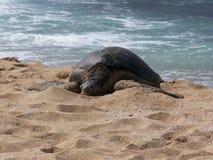 Honu que asolea en la playa Imagenes de archivo