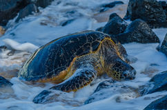 The Honu resting Stock Photos