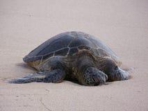 Honu Sunning na plaży Zdjęcie Royalty Free