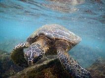 Honu visto ao nadar fora da ilha grande, Havaí Imagem de Stock