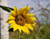 Honung-bi samla som är nektar på en solros Royaltyfri Foto