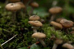honung för svampar för agaricsdag ätlig skog isolerad champinjonwhite Royaltyfri Foto