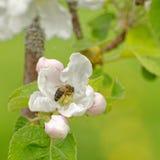Honungbi i blomma för äppleträd royaltyfri bild