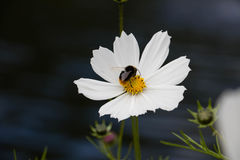 Honungbi med blomman Arkivfoto