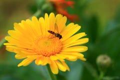 Honungbi och blomma Arkivfoton