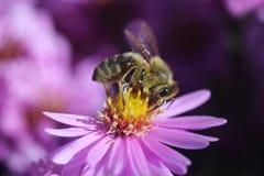 Honungbi på blomma Royaltyfria Foton