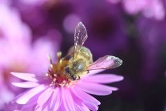 Honungbi på blomma royaltyfri fotografi