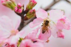 Honungbi på blomma arkivfoton