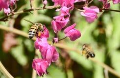 Honungbi på blomma Royaltyfri Foto