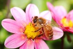 Honungbi på blomma Arkivbild