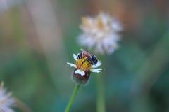 Honungbi på blomma Royaltyfri Bild