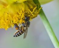 Honungbi på blomman Royaltyfria Bilder