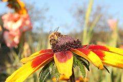 Honungbi på blomman Fotografering för Bildbyråer