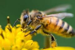 Honungbi på en gul vildblomma Fotografering för Bildbyråer