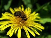 Honungbi på en maskros Arkivfoto