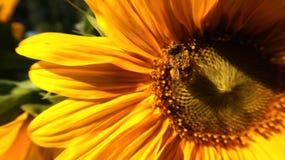 Honungbi på en solros royaltyfri foto