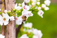 Honungbi på päronblomningen med grön bakgrund Royaltyfria Foton