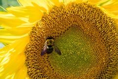 Honungbi på solrosen Royaltyfri Foto