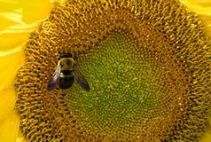 Honungbi på solrosen Arkivfoton