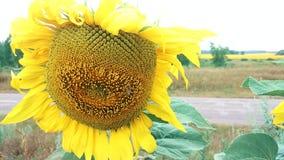 Honungbi på solrosen arkivfilmer