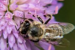 Honungbi på violett för blomma pollen mot efterkrav royaltyfri fotografi