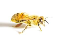 Honungbi som isoleras i vit Arkivfoto