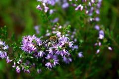 Honungbi som matar på en purpurfärgad blomma Fotografering för Bildbyråer