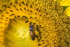 Honungbi som samlar nektar och pollen av solrosen Arkivbild