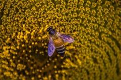 Honungbi som samlar nektar och pollen från en gul blomma arkivbild