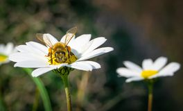 Honungbi som samlar pollen och nektar från Daisy Chamomile royaltyfri fotografi